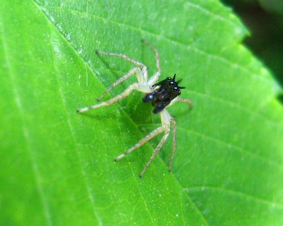 Dimorphic Jumping Spider - Maevia inclemens - male