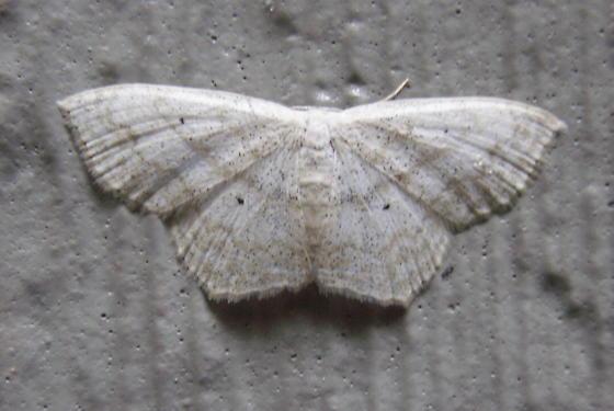 Large Lace-border - Hodges#7159 - Scopula limboundata
