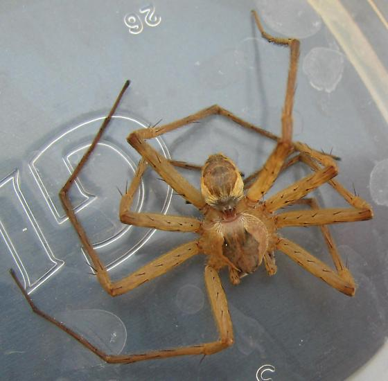 Is this a Recluse or Hobo Spider? - Tinus peregrinus - male