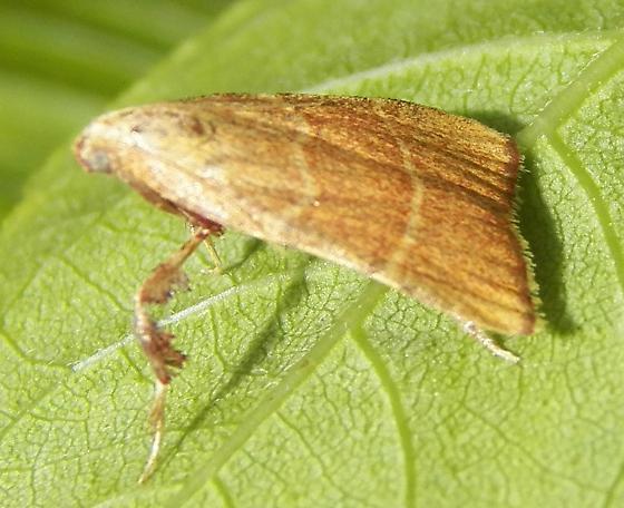 Moth 062014 ID - Parachma ochracealis