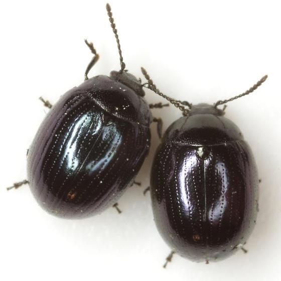 Phaedon cyanescens Stål - Phaedon cyanescens
