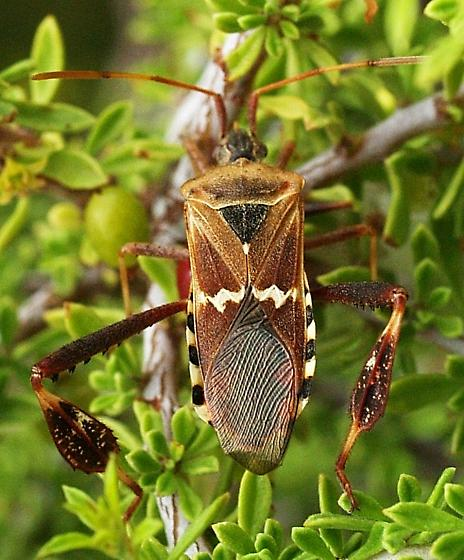 Leptoglossus, but is it clypealis? - Leptoglossus clypealis