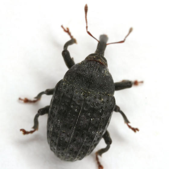 Rhyssomatus lineaticollis (Say) - Rhyssomatus lineaticollis