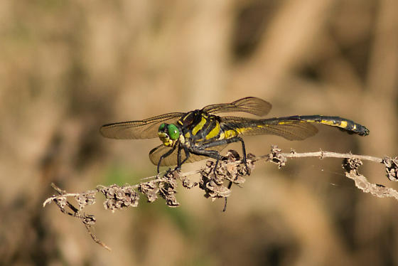 Large Dragonfly - Hagenius brevistylus