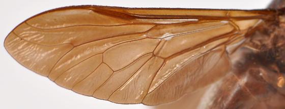 Whitneyomyia beatifica wing - Whitneyomyia beatifica - female