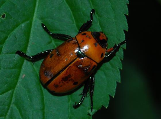large rust colored beetle - Pelidnota punctata