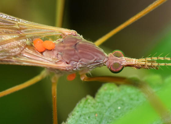 larval water mites - Calyptostoma