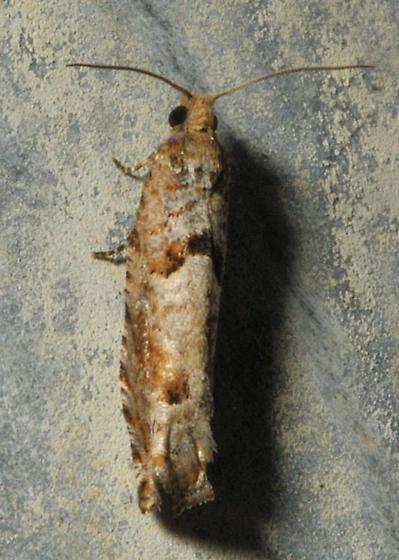 Rusty micro moth - Pseudexentera sepia