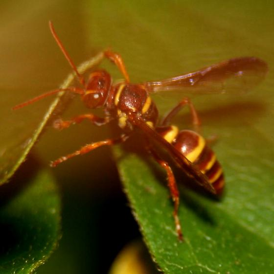 Brown-eyed Yellowjacket Wasp - Lateral - Psammaletes mexicanus - female