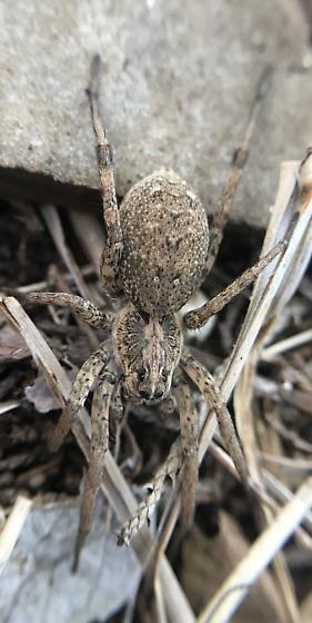 Gorgeous wolf spider  - Hogna antelucana - female