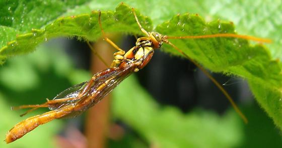 Wasp? - Grotea californica