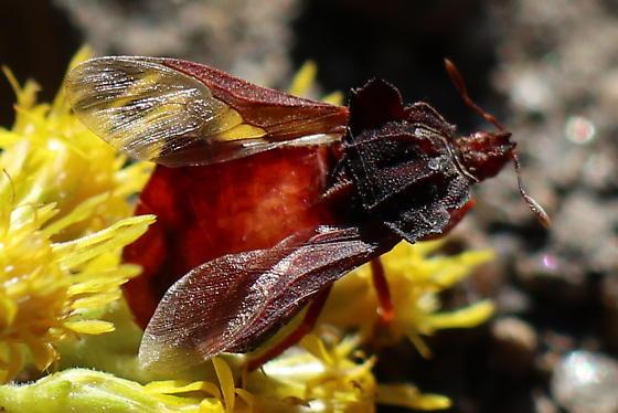 Unknown red bug - Phymata arctostaphylae