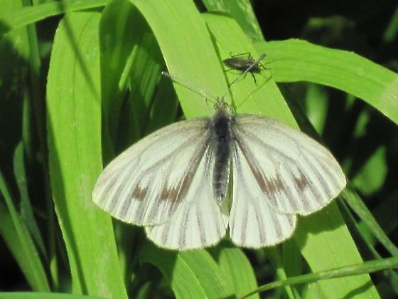 Western White? - Pieris marginalis - female
