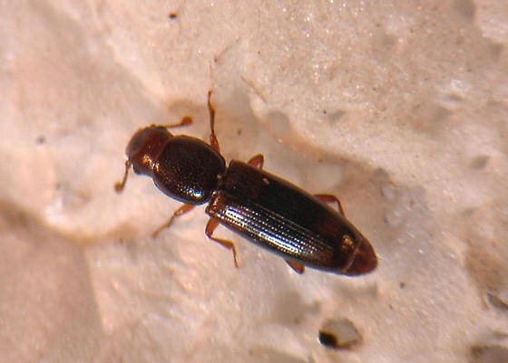 Nitidulidae? - Rhizophagus dimidiatus