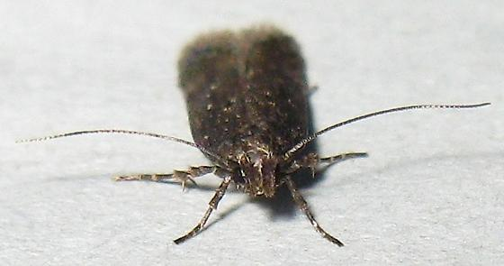 Twirler Moth