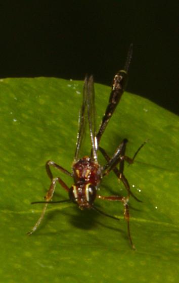 Tiny bug on citrus tree - Anomalon