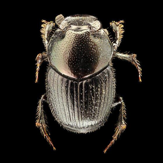 Onthophagus orpheus, minor male - Onthophagus orpheus - male