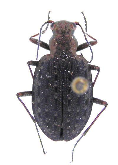 Opisthiusrichardsoni - Opisthius richardsoni
