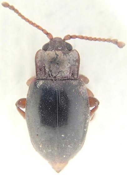 Beetle - Lycoperdina ferruginea