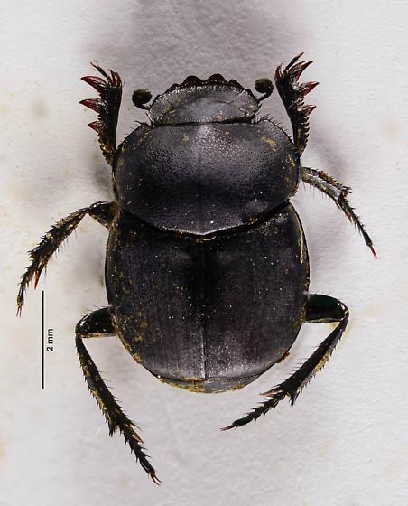 Tumblebug Genus Canthon? - Canthon simplex
