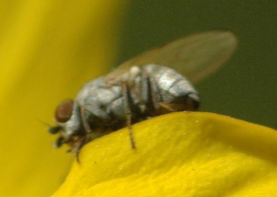 Dances with ants - Leucopis