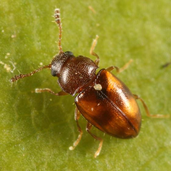 small beetle - Toramus pulchellus