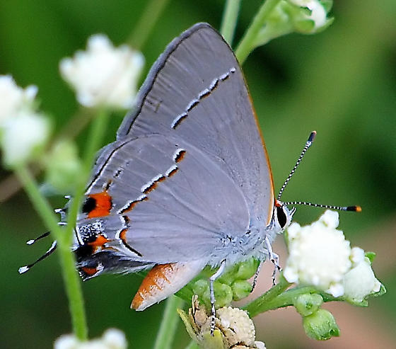 Is this a Gray Hairstreak? - Strymon melinus - male