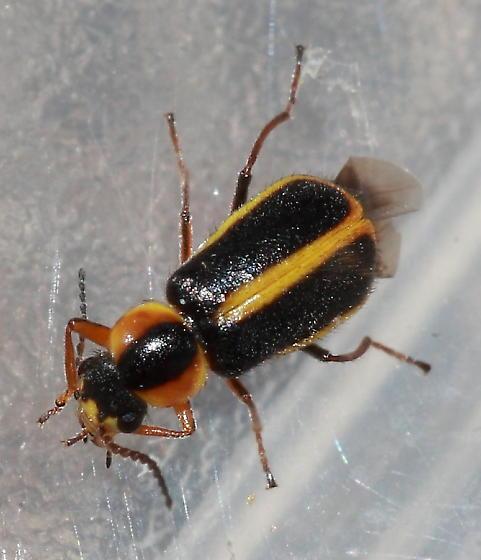 Soft-winged Flower Beetle - Attalus circumscriptus