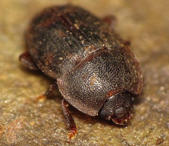 Nitidulinae - Stelidota octomaculata