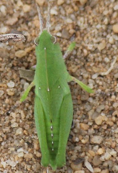 Chortophaga viridifasciata australior? - Chortophaga viridifasciata