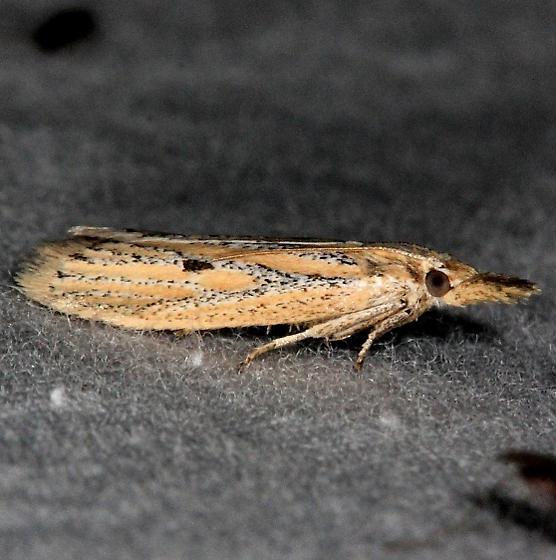 moth - Coenochroa bipunctella