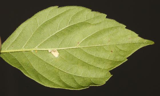 Mite gall on Boxelder, under side of leaf - Aceria negundi