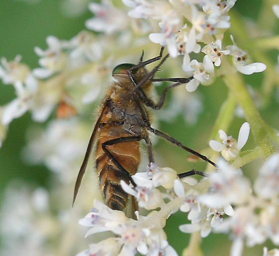 fly - Stonemyia tranquilla - male