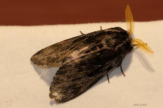 Lusk's Pine Moth IMG_0085 - Coloradia luski - male
