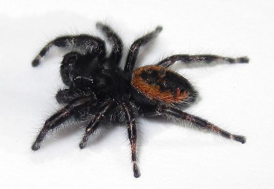 Adult Male - Phidippus borealis - male