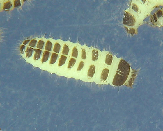 Slime Mold Beetles