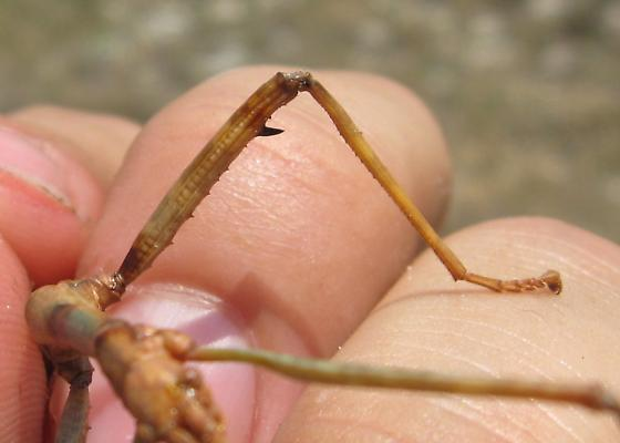 Male Megaphasma - Megaphasma denticrus - male