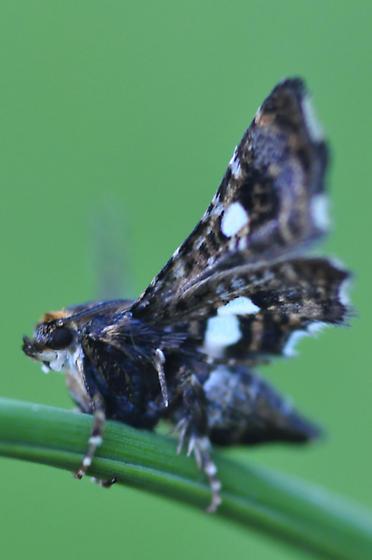 Orange, Black, White, small Moth - Thyris maculata