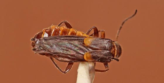 Lepturinae? - Trypherus latipennis