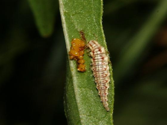 3 lined potato beetle larvae? - BugGuide.Net