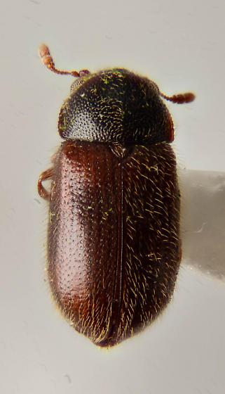 Little Round Beetle..LRB - Sphindus americanus