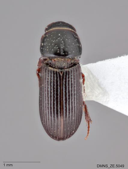 Pleurophorus_caesus_ZE.5049_dorsal  - Pleurophorus caesus