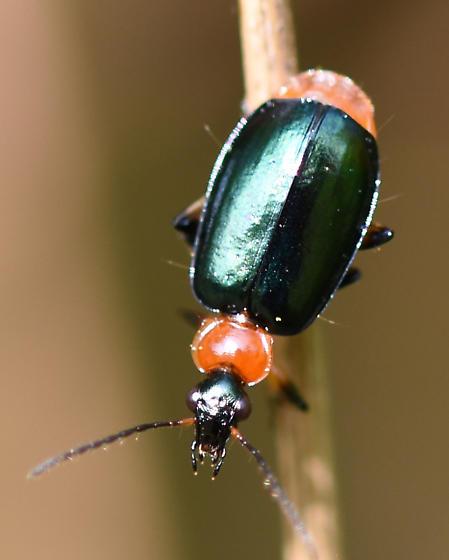 Melirydae Collops sp? - Lebia viridipennis