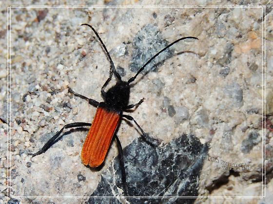 What species is this? - Tragidion