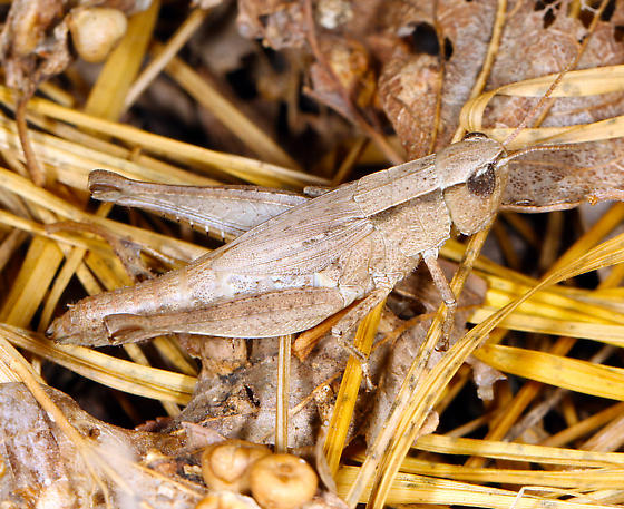 Acrididae, late instar - Dichromorpha viridis - female