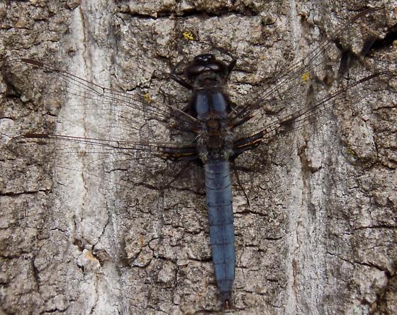 Blue Corporal - Male - Ladona deplanata - male