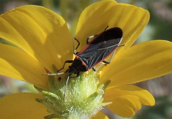 Seed Bug in Phoenix - Melacoryphus lateralis
