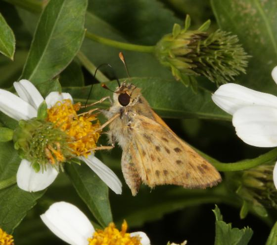 Skipper with spotted wings - Hylephila phyleus