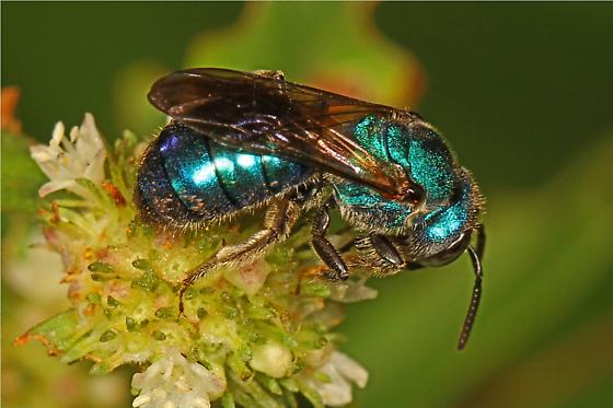 Metallic Blue Bee - Augochlorini? - Augochlora pura
