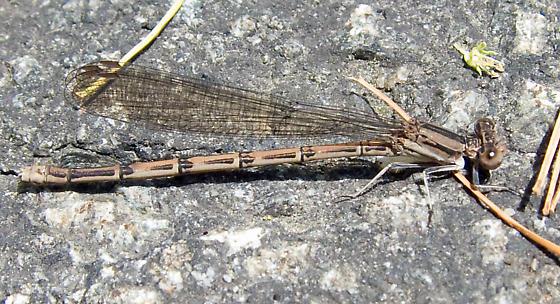 Variable Dancer - Argia fumipennis - female